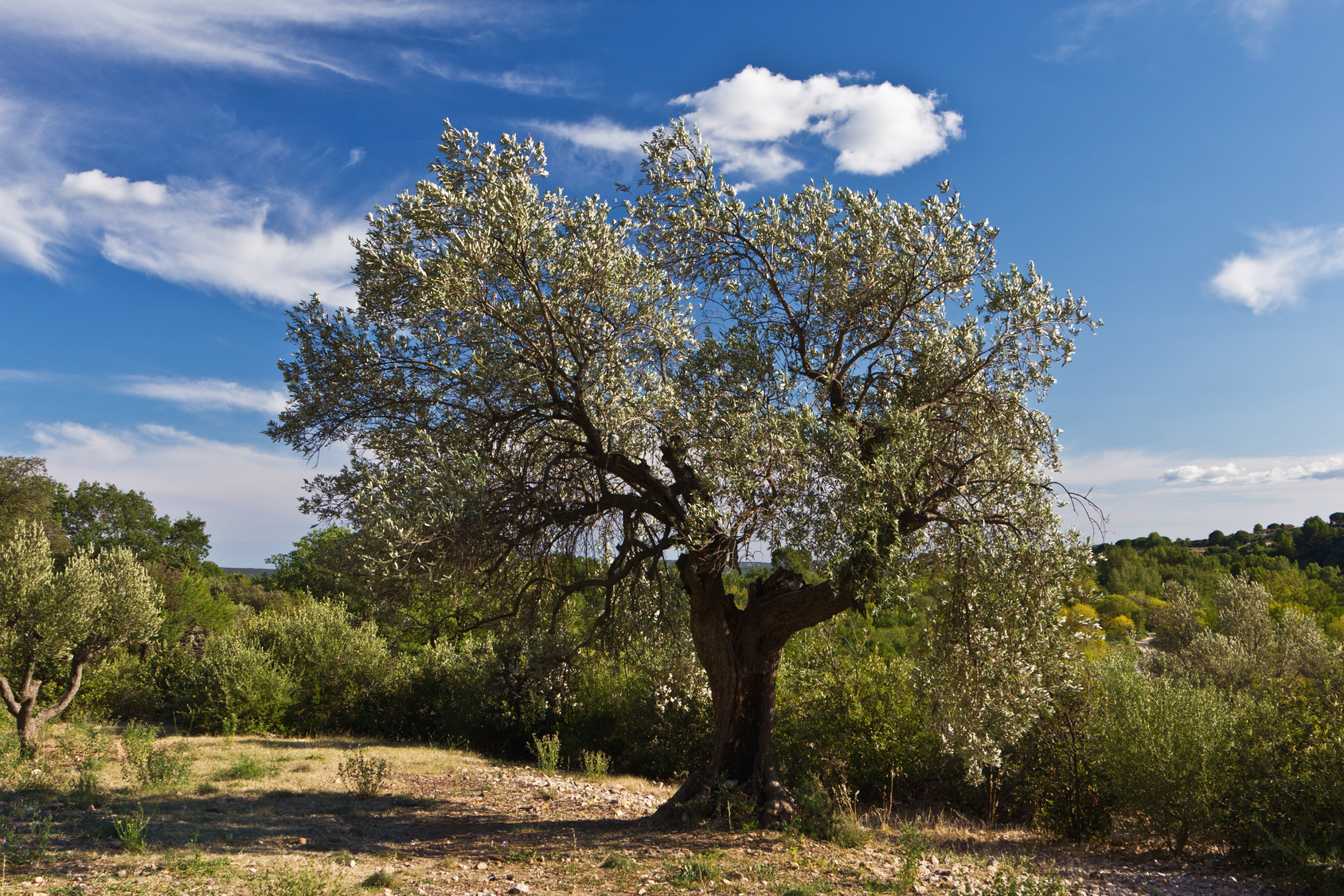 Olivenbaum in Sdfrankreich